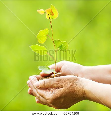 Aspen Sapling In Hands. The Leaves Of Rays Of Sunlight.