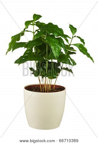 Coffee Tree (arabica Plant) In Flower Pot Isolated On White Background.