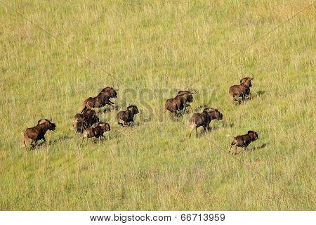 Aerial view of black wildebeest (Connochaetes gnou) running in grassland, South Africa