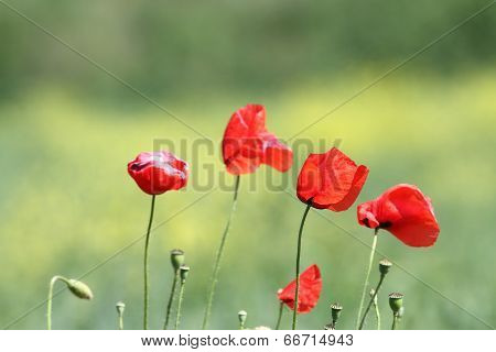 Group Of Wild Poppies