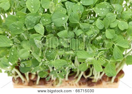 sprouted pea