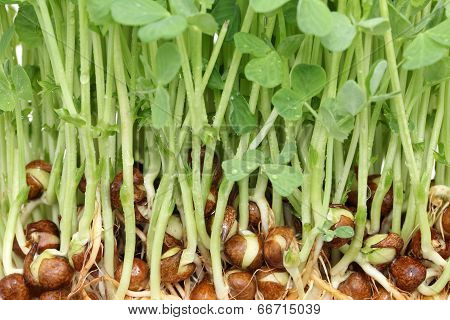 sprouted pea with roots