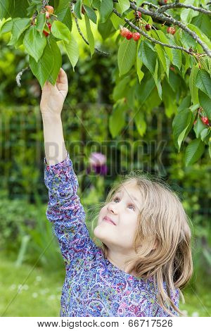 Little Girl Picking A Cherry