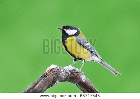 Great Tit In The Winter.
