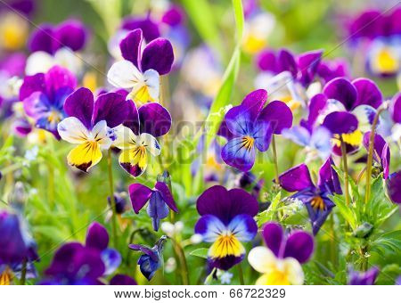 garden violet blooms profusely lilac flowers background