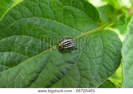 Colorado Beetle - Leptinotarsa Decemlineata