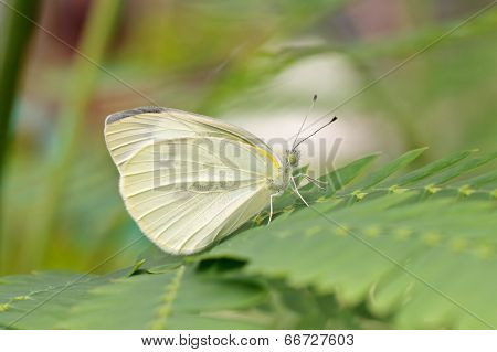 Btterfly Garden-white (pieris Brassicae) On A Leaf