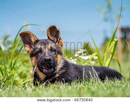 German shepherd puppy posing lying down in the grass