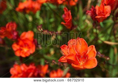 Orange Gladiolus Flowers - Gladiolus Sp.