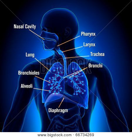 Lungs Respiratory System - detailed view