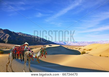 Camel in the desert song. Dromedary yells at the sand dunes. Dromedary decorated with picturesque harness and bright red blanket