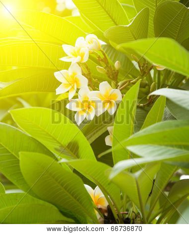 Branch of tropical flowers frangipani (plumeria) over green leaves