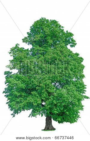 Old Linden Tree With Green Leaves Isolate