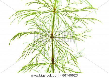Horsetail Plant