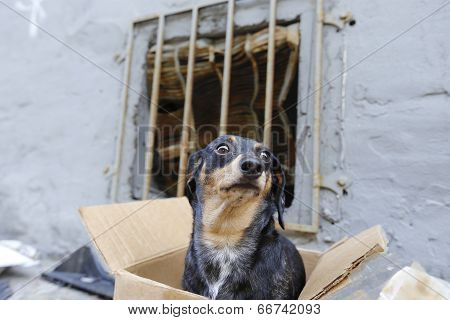 Close up of abandonded dachshund in box