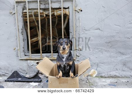 Abandonded dachshund in box