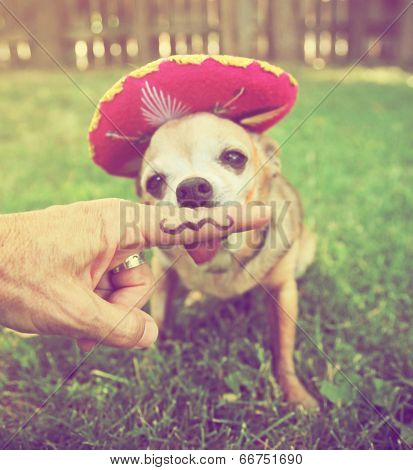 a chihuahua with a sombrero hat on sitting in the grass done with a retro vintage instagram filter