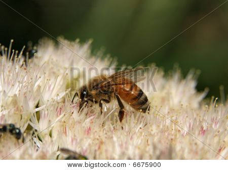 Honeybee on a white sedum flower