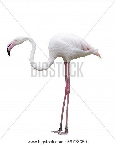 flamingo birds stand isolated white background