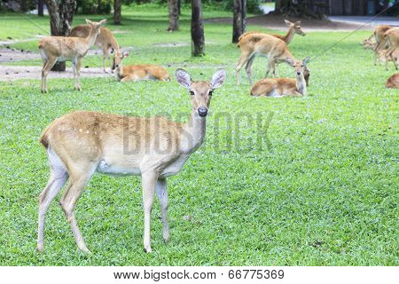 close up of wild deer in open zoo use for animals wild life in zoology