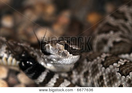 Snake-33