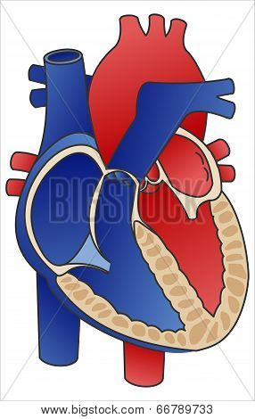 Diagram Heart.
