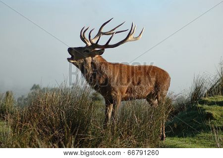 Stag Roaring