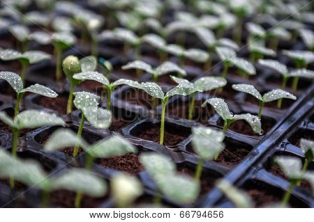 Seedlings closeup with water drops