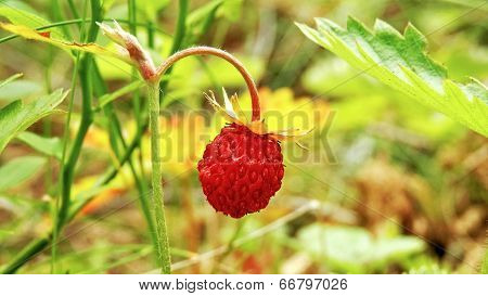 Strawberry In The Forest Decorated With Nature.