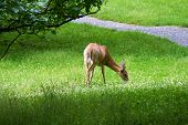 stock photo of bambi  - Doe grazing on grass at the  - JPG
