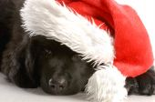 stock photo of newfoundland puppy  - newfoundland puppy wearing santa hat  - JPG