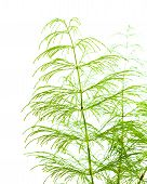 foto of horsetail  - horsetail plant thin fronds isolated on white - JPG