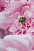 picture of sweetpea  - shiny green beetle on a pink peony flower - JPG