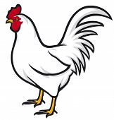 pic of roosters  - white rooster vector illustration on white background - JPG