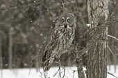 stock photo of snow owl  - A Great Grey Owl in a tree during a snow storm - JPG