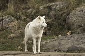 pic of horrific  - An Arctic wolf in a forest - JPG