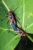 picture of coitus  - Close up of shield bugs  - JPG