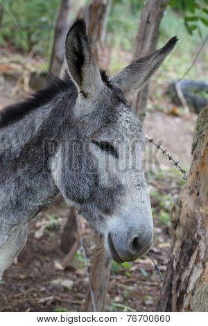 Grey Donkey Closeup Detail From A Nicaraguan Farm