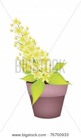 Cassia Fistula Flower in A Ceramic Pot