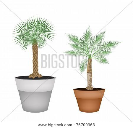 Two Isometric Palm Trees in Terracotta Pots
