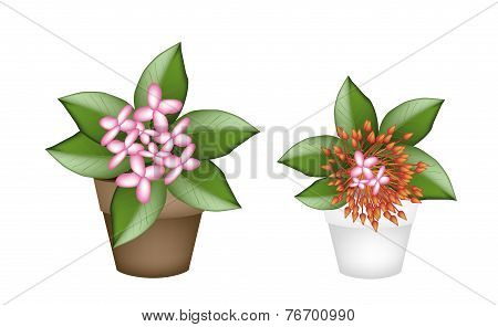 Fresh Red and Pink Ixora in Flower Pots
