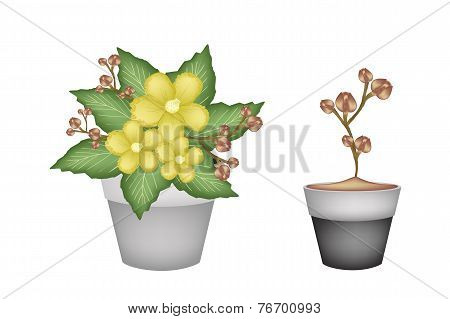 Two Fresh Yellow Simpor in Flower Pots