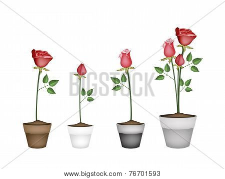 Set of Red Roses in Ceramic Flower Pots