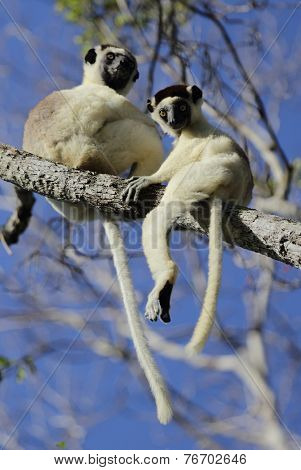 Endemic sifaka lemurs (Propithecus) relaxing on the tree. Madagascar
