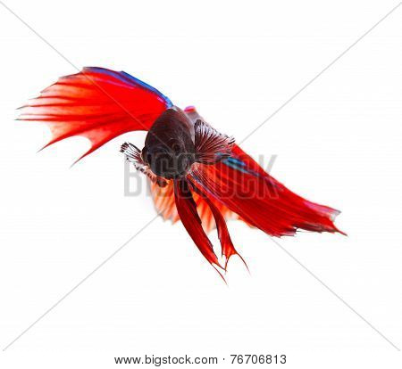 Close Up Face Of Red Thai Betta Fighting Fish With Full Beautiful Fin And Tail Isolated White Backgr