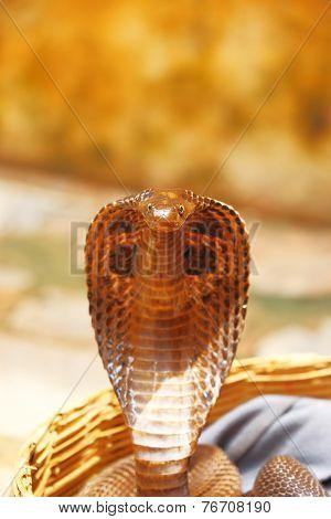 king cobra india