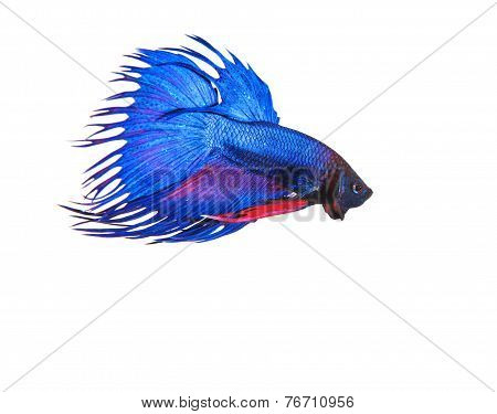 Blue Crown Tail Thai Fighing Fish Betta Prepare To Fight Isolated White Background