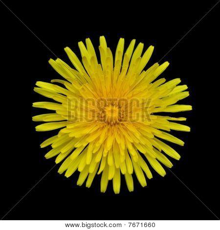 Yellow Dandelion - Taraxacum Officinale  Isolated On Black Background