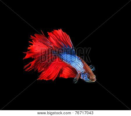 Red And Blue Siamese Betta Fighting Fish Full Tail And Fin Isolated Black Background
