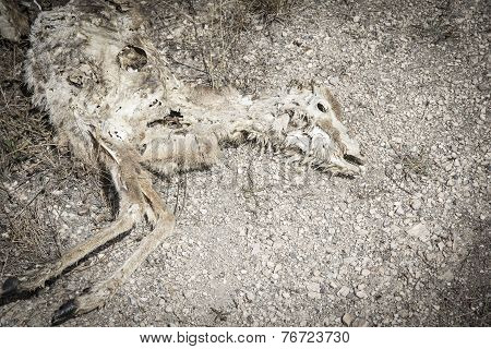 Dead and decomposing sheep in the ground